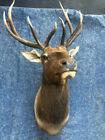 Elk Mount -- Rocky Mountain 11 point Elk Shoulder Mount Great brown & beige cape