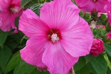 5 graines KETMIE DES MARAIS ROSE(Hibiscus Moscheutos)G52 SEEDS SAMEN SEMILLAS