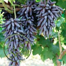 Seeds Long Grape Finger Witch Rare Natural Product Garden Fruit Home 50 Pcs