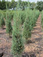 Juniperus scopulorum 'Blue Pyramid' - Blauer Raketenwacholder 'Blue Pyramid' 40-