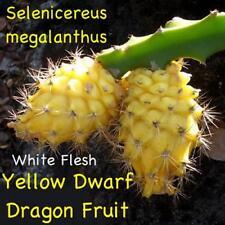 ~YELLOW DWARF DRAGONFRUIT~ Selenicereus megalanthus Pitaya USA seller 100+ SEEDS