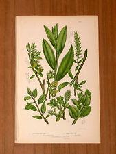 1860 ANTICA ORIG_CROMOLITO - A.PRATT- PIANTE_FIORI-T204