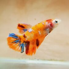 "Live Betta Fish - Female Halfmoon -""Koi Candy Fancy"" Betta High Quality (QAUG65)"