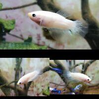 Celephane betta fish halfmoon male! Thailand import parents!