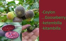 Gooseberry plant, ketembilla, kitambilla, Dovyalis hebecarpa Plant