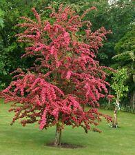 9L Pot Paul's Scarlet Tree Red Hawthorn Crataegus Laevigata Plant Ornamental