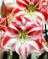 1 AMARYLLIS Candy Floss® South African Bulb Hadeco~PINK~Bloomed in Storage
