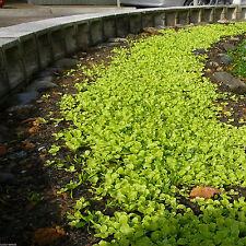 SeedRanch Dichondra Repens Seed - 1 lb. (Covers 500 sq. ft.)