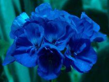5 graines géranium zonale bleu intense