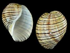 Hydatina vesicaria - Shells from all over the World NEW!!!