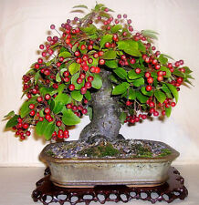 Bonsai seeds - European Crab Apple Malus micromalus - Pack of 5 seeds
