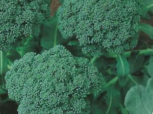 "Broccoli Seeds ""Waltham"" (Approx 300 Seeds),Popular Garden Vegetable"