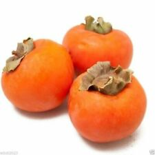 Kakibaum -Diospyros kaki- 10 Samen   (Dattelpflaume) Winterhart bis -15 Grad