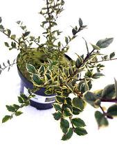 Myrtle Apiculata / Myrtus Luma 'Variegata' Shrub 25-30cm Tall In a 2L Pot