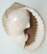 "MALEA RINGENS 7-8"" BEAUTIFUL XXL DISPLAY SHELL ""GRINNING TUN"" from Mexico"