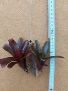 Neoregelia schultesiana Hawaii, Hybride, Bromelie, aufgebunden,