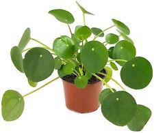 Pilea peperomioides Glückstaler Ufopflanze Chinesischer Geldbaum Feng Shui Geld