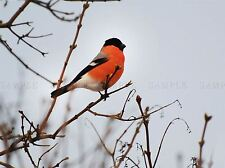 BULL FINCH BIRD RED BREAST BRANCH TREE ART PRINT POSTER PICTURE BMP854A