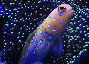 Blue Spot Jawfish *FREE SHIPPING* Live Saltwater reef Aquarium! FISH/REEF/CORAL