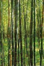 Box of 3 Phyllostachys Nuda, 'Nude Sheath', live Bamboo plant, hardy to -20f.