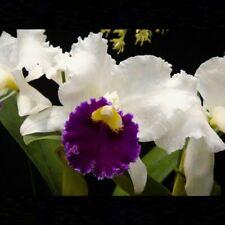 Cattleya Orglade's Grand 'Tian Mu' 3 1/4'' T651