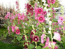50 KING HENRY VIII MIXED HOLLYHOCK Flower Seeds + Gift