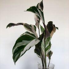 Calathea White Fusion - rare variegated plant