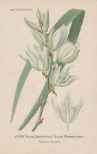 Yucca filamentosa Yucca-Palma litografia di 1896 palmlilien Adam's Needle