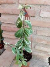 AESCHYNANTHUS VARIEGATA---------plantas