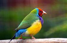 Gouldian Finch Bird Nature HD POSTER