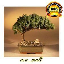 Juniper Bonsai Tree Plant - Medium Juniper Procumbens Nana Outdoor Best Gift New