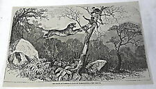 1878 magazine engraving ~ TIGER ATTACKS HUNTERS IN TREE ~ the death of Fursoot