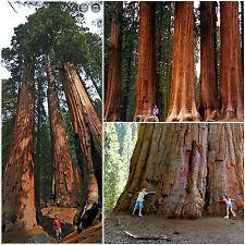 50 graines de Sequoiadendron giganteum, séquoia géant , wellingtonia, F