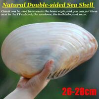 26-28 cm Natürliche Muschelschale Korallen Perle Muschel Doppelseitige Decor