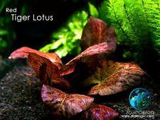 Red Tiger Lotus - Live Aquarium Plant Java Moss Fern Q
