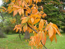 rare flowering tree, Autumn colours, American Buckeye AESCULUS GLABRA, hardy