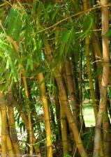 Gigantes bambú Bambusa arundinacea comestibles montantes secundarios 20 semillas