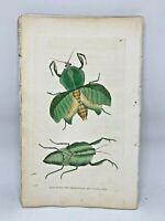 Broad-breasted Mantis - 1783 RARE SHAW & NODDER Hand Colored Copper Engraving