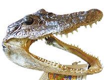 Alligator Head 5-6 Genuine Real Gator American Taxidermy Reptile Free Shipping