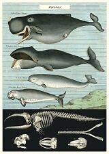 Whales Chart - Natural History  Poster Cavallini & Co 20 x 28 Wrap