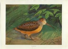 Early 1900s Antique Forest Hunting Print ~ Woodcock