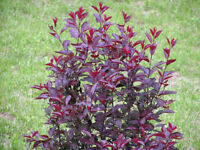 Purple Leaf Sand Cherry Tree - Flowering Rooted - 1 Plant in 1 Gallon Pot
