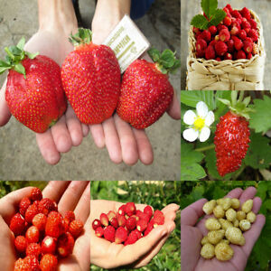 Seeds Strawberry Rare Giant Red Yellow Alpine Everbearing Wild Organic Vegetable