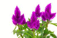 Zimmer Blumen Samen Rarität seltene Pflanzen schnellwüchsig FEDERBUSCH