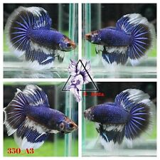 [350_A3]Live Betta Fish High Quality Male Fancy Over Halfmoon 📸Video Included📸