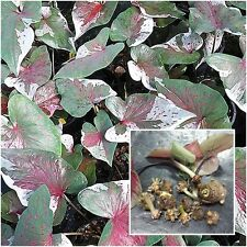 Caladium 1 Tuber, Queen of the Leafy Plants, ''Noppakow'' Tropical From Thailand