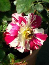 Fourth of July Climber Rose 5 Gal. Bush Live Nice Plants Plant Climbing Roses