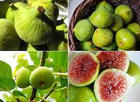 100 Sweet Honey White Big FIG tree seeds - Fragrant ( White- 2 crops) 100+ seeds