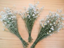 Dried Flowers - Winged Everlasting - Look Like Tiny Daisies - 75 Total Stems