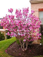 Magnolia Seeds Beautiful Flower Tree Seeds Magnolia Plants Beautiful Bonsai 30